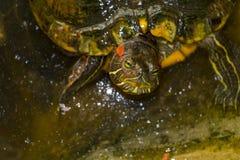 可怜的小的乌龟 库存图片