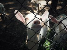 可怜的山羊在笼子 图库摄影