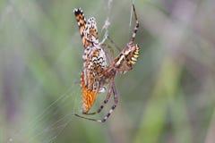 可怜的蝴蝶仍然抵抗,但是she& x27; 已经注定的s 免版税库存照片