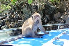 可爱一点猴子摆在 库存图片