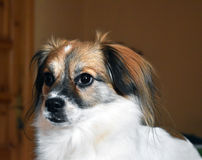可爱和哀伤的狗 库存图片