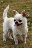可爱奇瓦瓦狗的狗 库存图片