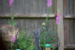 可爱宝贝浅蓝色山雀在英国庭院里 图库摄影