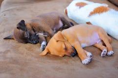 可爱小狗睡觉 免版税库存照片