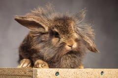 可爱棕色狮子头兔子兔宝宝说谎 库存照片
