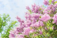 可爱淡紫色开花在天空背景 与淡紫色开花的室外自然背景 免版税图库摄影