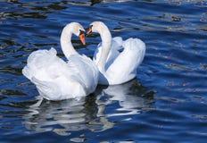 可爱白色天鹅夫妇联接。 库存照片