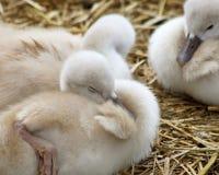 可爱的五天的老婴孩疣鼻天鹅一起紧贴了舒适和美满 免版税库存图片