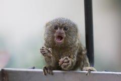 可爱的侏儒狨 免版税库存图片