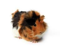 可爱的几内亚查出的宠物猪 免版税库存图片