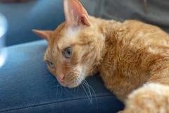 可爱的卷曲猫乌拉尔雷克斯在所有者的腿说谎 库存照片