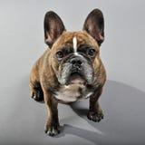 可爱的反向烟草花叶病的公法国牛头犬 免版税库存图片