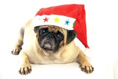 可爱的哈巴狗狗开会 免版税库存图片