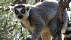 可爱的圆被盯梢的狐猴坐树 库存图片