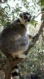 可爱的圆被盯梢的狐猴坐树 免版税库存图片
