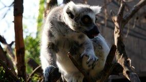 可爱的圆被盯梢的狐猴坐树 免版税库存照片