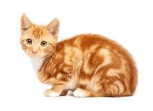 可爱的在白色背景镶边了小猫开会隔绝的姜红色平纹 库存图片