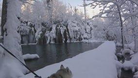 可爱的多壳的狗在森林和河多雪的冬天风景愉快地跑  股票视频