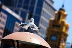 可爱的夫妇鸟在墨尔本 免版税库存图片