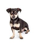 可爱的奇瓦瓦狗和达克斯猎犬被混合的品种狗 库存照片
