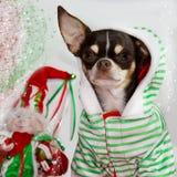 可爱的奇瓦瓦狗 库存照片