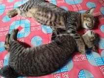可爱的婆罗洲猫拥抱 库存图片