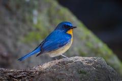 可爱的小山蓝色捕蝇器 免版税库存照片