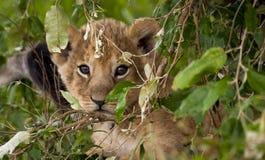 可爱的小幼狮凝视观察者通过叶子 库存照片