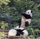 可爱的小熊猫 库存照片