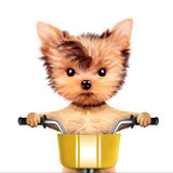 可爱的小狗坐有篮子的一辆自行车 免版税图库摄影