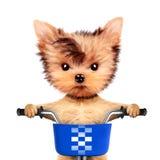 可爱的小狗坐有篮子的一辆自行车 免版税库存照片