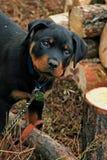 可爱的小狗rottweiler 库存图片