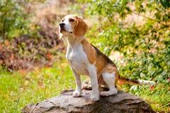 可爱的小猎犬 免版税库存图片