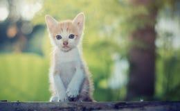 可爱的小猫坐的凝视某事 免版税库存照片