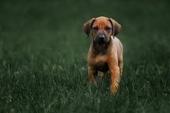 可爱的小的Rhodesian Ridgeback小狗 库存照片