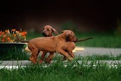 可爱的小的Rhodesian Ridgeback小狗 免版税库存照片