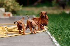 可爱的小的Rhodesian Ridgeback小狗 免版税库存图片