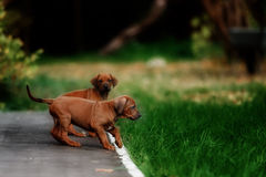 可爱的小的Rhodesian Ridgeback小狗 库存图片