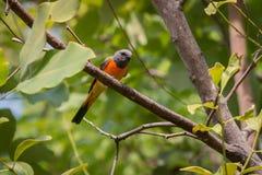 可爱的小Minivet鸟 库存图片
