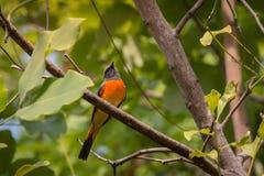 可爱的小Minivet鸟 免版税库存照片
