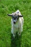 可爱的山羊 免版税图库摄影