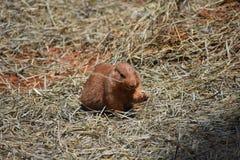 可爱的布朗草原土拨鼠 免版税库存照片