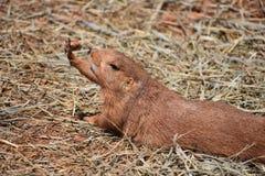 可爱的布朗草原土拨鼠 库存图片