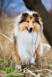 可爱的年轻少年外面金粗砺的大牧羊犬 库存照片