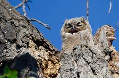 可爱的幼小猫头鹰之子在打呵欠它的巢和需要休息 库存照片