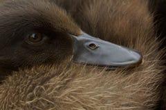 可爱的幼小鸭子偎依入它自己软的羽毛 免版税库存照片