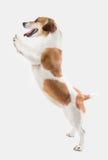 可爱的微笑的狗 免版税库存照片
