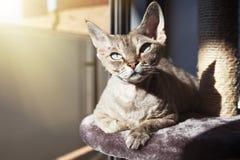 可爱的德文郡雷克斯猫坐一个抓的岗位以后有活动,使用scratcher,放松 免版税库存图片