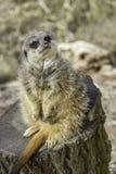可爱的怀孕的meerkat 库存照片