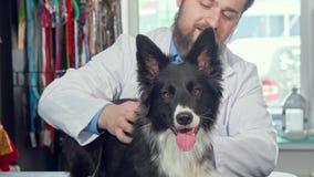 可爱的愉快的健康狗播种的射击在兽医诊所的 股票视频